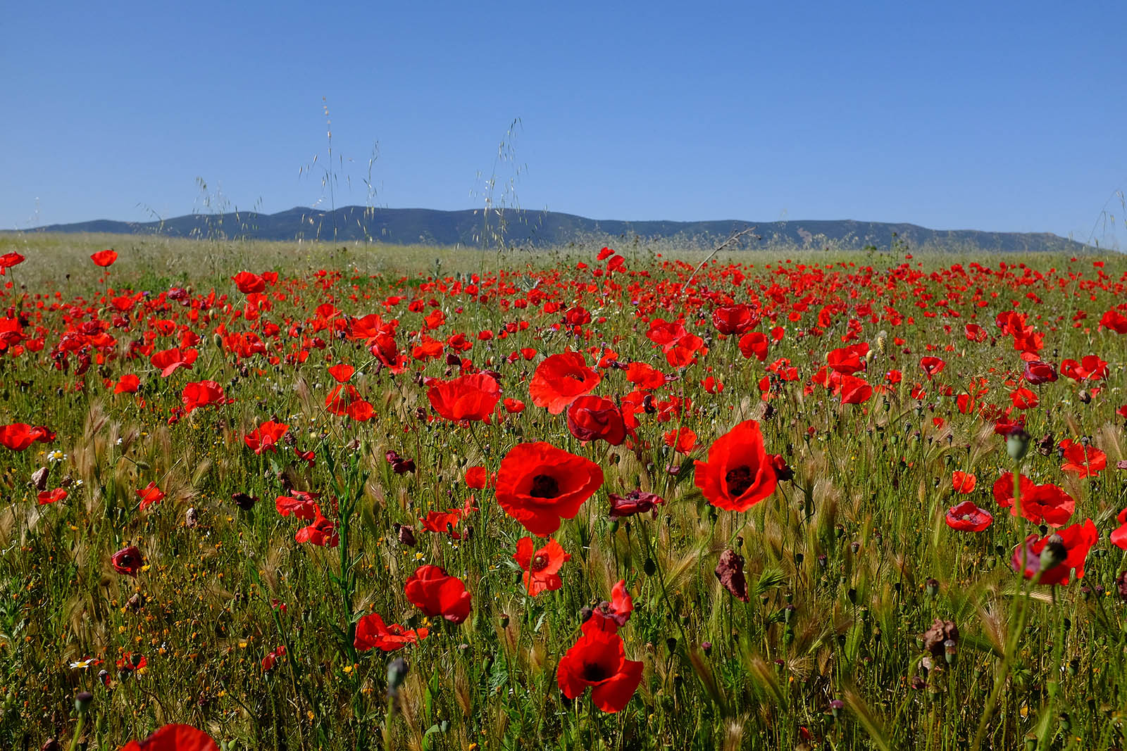 La Mancha Poppies in Springtime